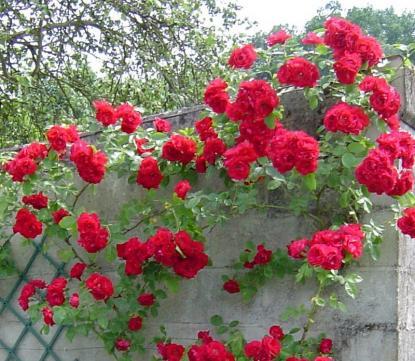 Le langage des roses de Picardie