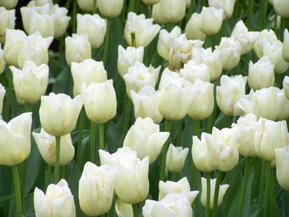 Le Lions Club et les tulipes du Coeur