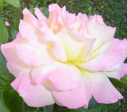 Les journées  de la Rose 2011