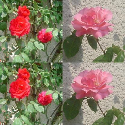 Yann Arthus-Bertrand : Journées de la rose